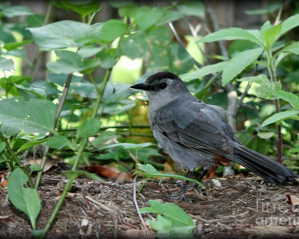 Bird Poster featuring the photograph Gray Catbird by Debra Straub