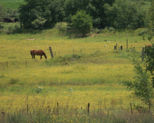 Horse Poster featuring the photograph Grazing Horse by Val Conrad