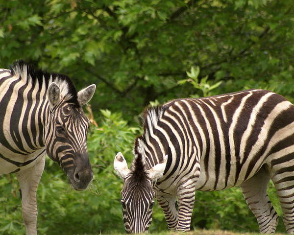 Animal Poster featuring the photograph Grazing Zebras by Sonja Anderson
