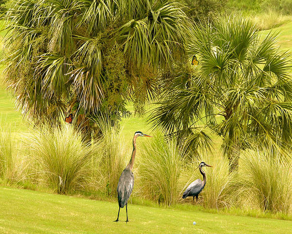 Great Blue Heron Poster featuring the photograph Great Blue Golfing by Adele Moscaritolo