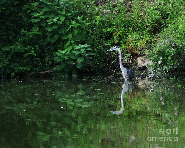Lanscape Water Bird Crane Heron Blue Green Flowers Great Photograph Poster featuring the photograph Great Blue Heron Hunting Fish by Dawn Downour