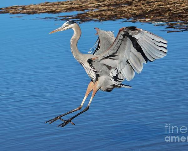 Great Blue Heron Poster featuring the photograph Great Blue Heron Landing In The Marsh by Paulette Thomas