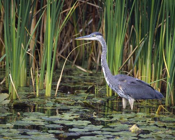 Outdoors Poster featuring the photograph Great Blue Heron by Natural Selection David Spier