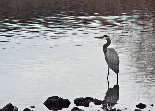 Great Poster featuring the photograph Great Blue Heron Wading 3 by Douglas Barnett