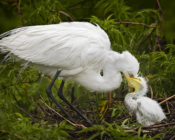 Egret Poster featuring the photograph Great Egret And Chick by Susan Candelario