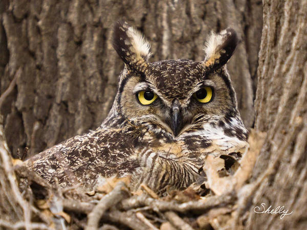 Great Horned Owl Poster featuring the photograph Great Horned Owl by Shelly OBrien