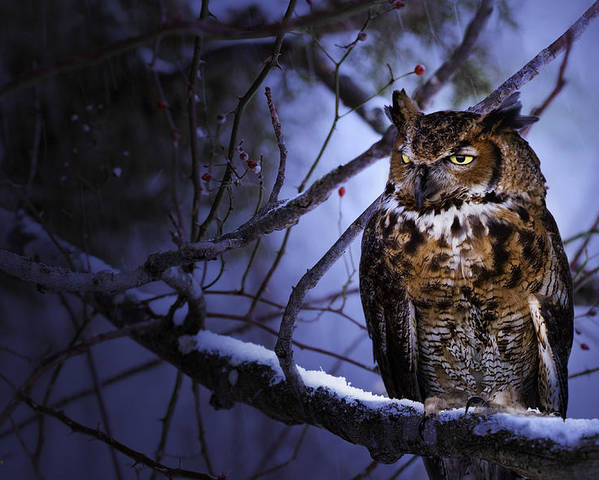 Animal Poster featuring the photograph Great Horned by Ron Jones
