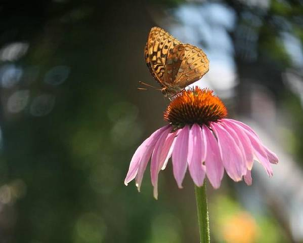 Butterfly Poster featuring the photograph Great Spangled Fritillary by Debra Sandstrom