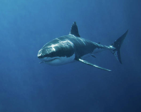 Horizontal Poster featuring the photograph Great White Shark by John White Photos