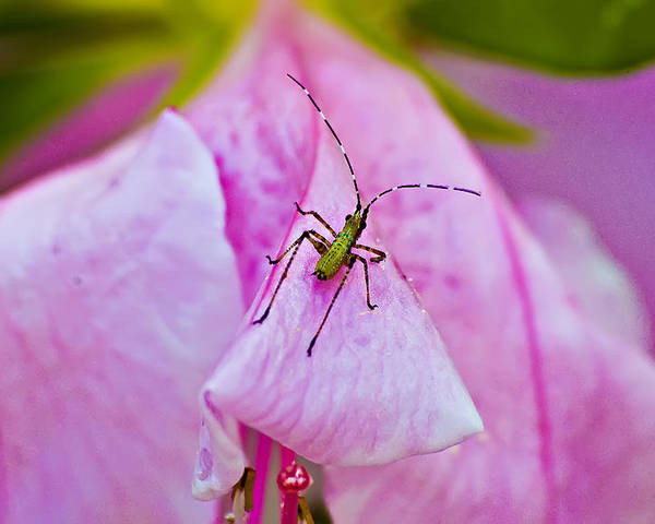 Insect Poster featuring the photograph Green Bug On Rose Petal by Michael Whitaker
