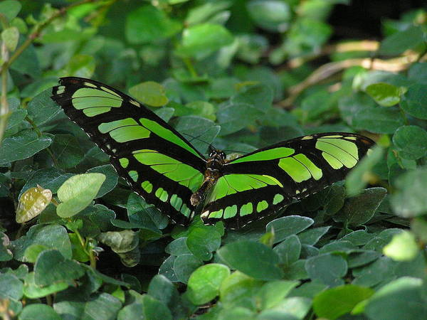 Green Poster featuring the photograph Green Butterfly by Louise Magno