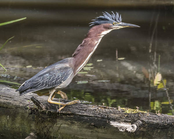 Wading Birds Poster featuring the photograph Green Heron by Ken Czworka