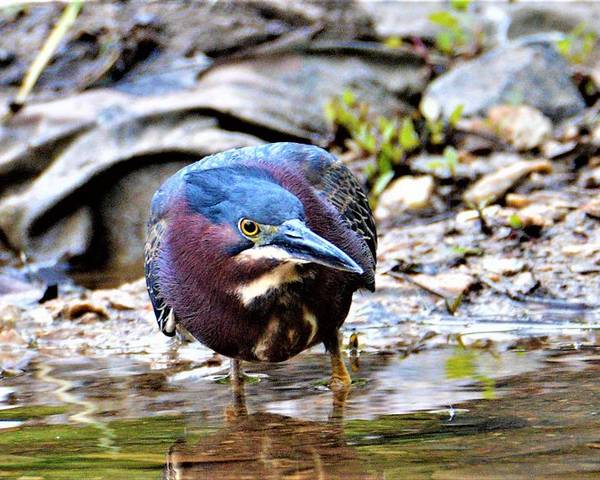 Green Heron Poster featuring the photograph Green Heron Male by Kathy Kelly