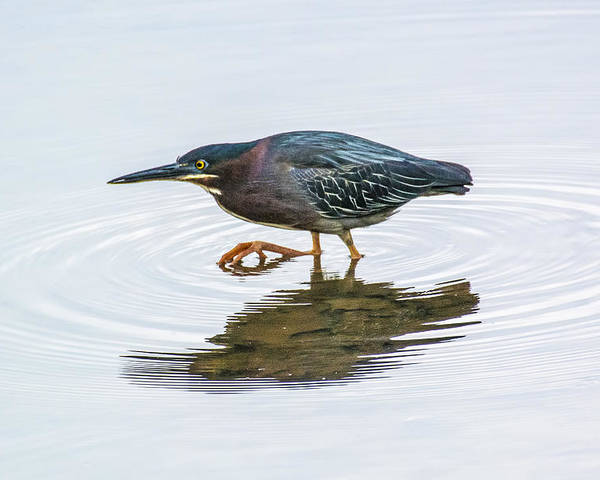 Bird Poster featuring the photograph Green Heron Stalking Prey by Steven Dingeldein