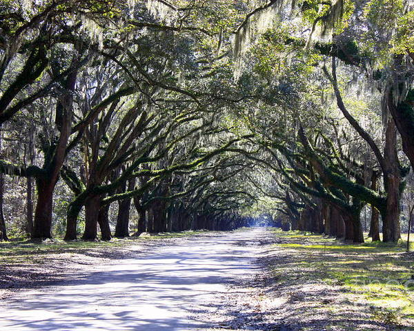 Live Oaks Poster featuring the photograph Green Lane by Carol Groenen
