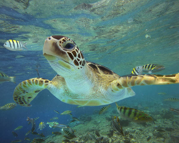 Mp Poster featuring the photograph Green Sea Turtle Chelonia Mydas by Tim Fitzharris