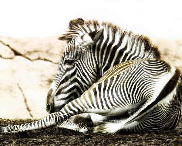Zebra Poster featuring the photograph Grevy's Zebra by Bill Tiepelman