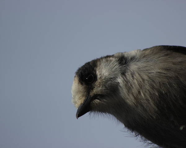 Nature Poster featuring the photograph Grey Jay Looking Down At Me by Stephen Dyck