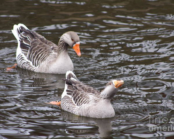 Fav Poster featuring the photograph Greylag Geese by B Rossitto