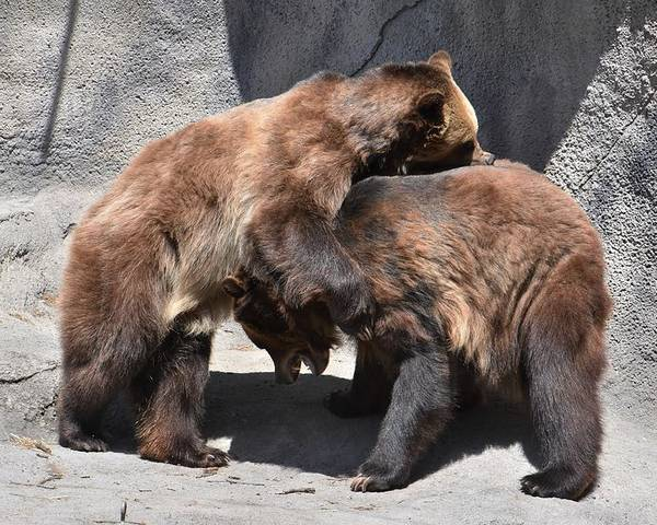 Grizzly Bear Poster featuring the photograph Grizzlies' Playtime 4 by Flo McKinley