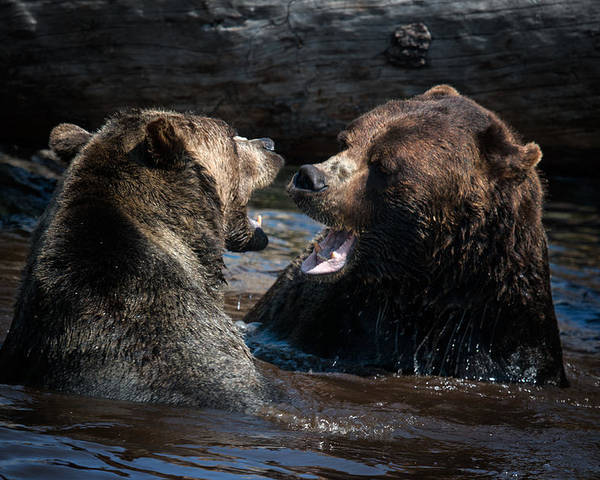 Bears Poster featuring the photograph Grizzly Bears by Naman Imagery