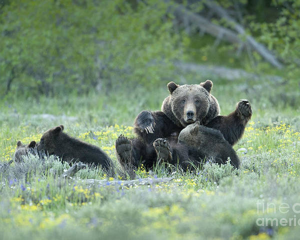 Bears Poster featuring the photograph Grizzly Romp - Grand Teton by Sandra Bronstein