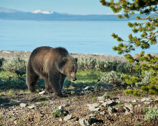 Grizzly Poster featuring the photograph Grizzly Sow At Yellowstone Lake by Sandra Bronstein