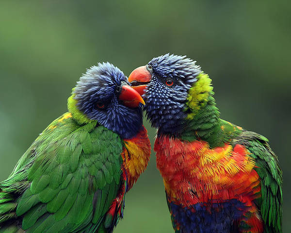Lorikeets Poster featuring the photograph Grooming In The Rain by Lesley Smitheringale