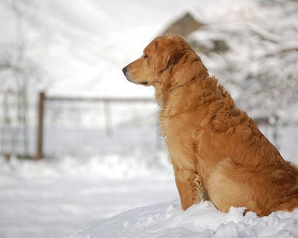 Golden Retriever Poster featuring the photograph Guard by Laura Mountainspring