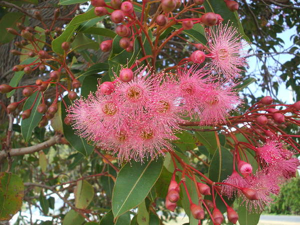 Gum Blossom Pink Green Flower Poster featuring the photograph Gum Blossom by Bethwyn Mills
