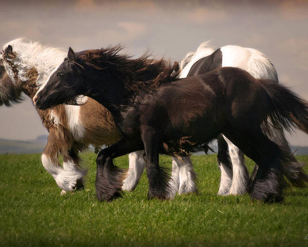 Gypsy Vanner Poster featuring the photograph Gypsy Fillies by Elizabeth Sescilla