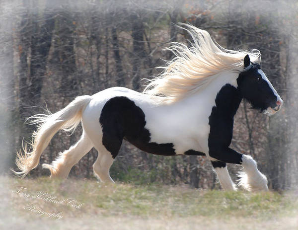 Gypsy Horse Poster featuring the photograph Gypsy Stallion Esperanzo by Terry Kirkland Cook