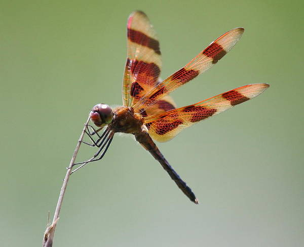 Wildlife Poster featuring the photograph Halloween Pennant Dragonfly by Larry Federman