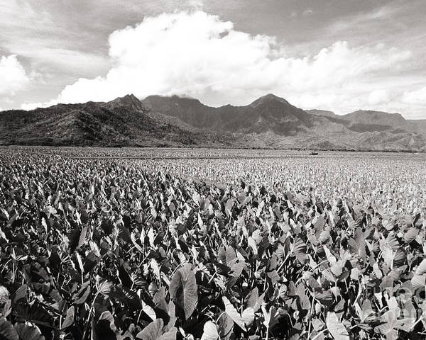 Afternoon Poster featuring the photograph Hanalei Taro Fields by Bob Abraham - Printscapes