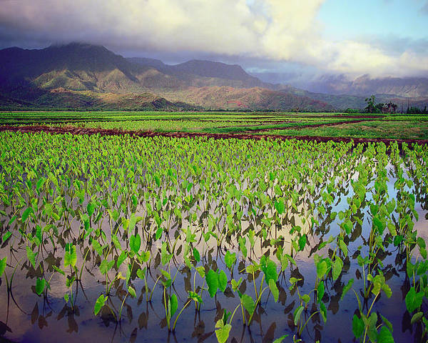 Kauai Poster featuring the photograph Hanalei Valley Taro Ponds by Kevin Smith