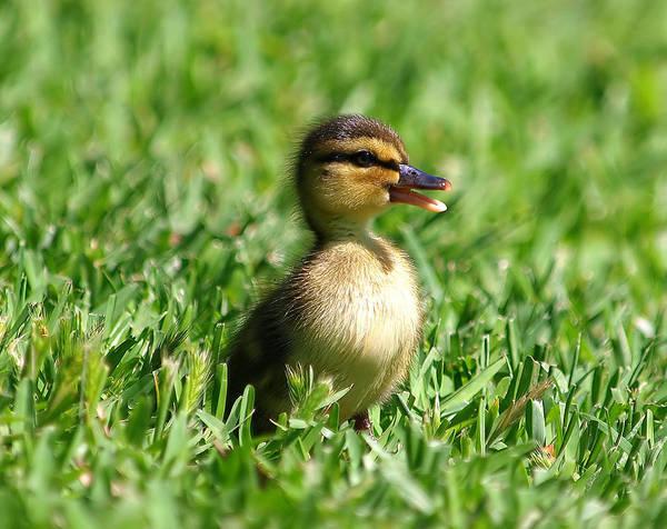 Duckling; Duck; Mallard; Mallard Duckling; Baby; Baby Duckling; Baby Mallard; Cottonwood Park; Richardson Texas; Aquatic Bird; Aquatic; Water Fowl Poster featuring the photograph Happy Lil Duck by Kala King