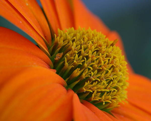 Orange Flower Poster featuring the photograph Happy by Linda Russell