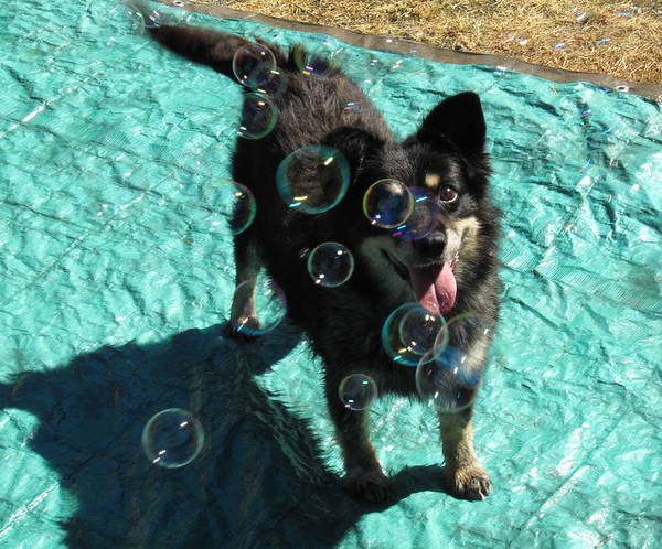 Happy Dog Chasing Bubbles Poster featuring the photograph Happy by Tracey Levine