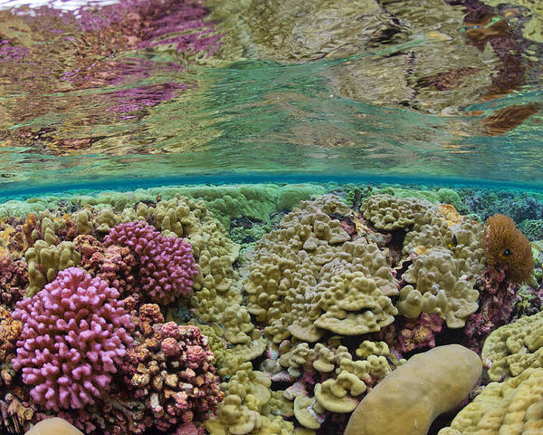 Underwater Poster featuring the photograph Hard Coral Carpets A Shallow Seafloor by Brian J. Skerry