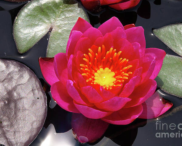 Flowers Poster featuring the photograph Hardy Day Water Lily by Rich Walter