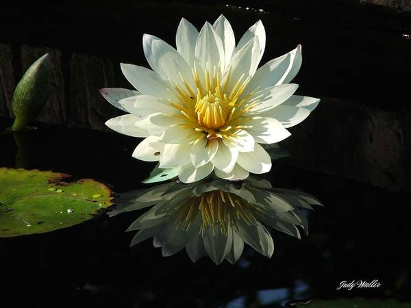 Flower Poster featuring the photograph Haven Hospice Water Lily by Judy Waller