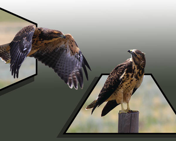Hawk Poster featuring the photograph Hawks by Shane Bechler