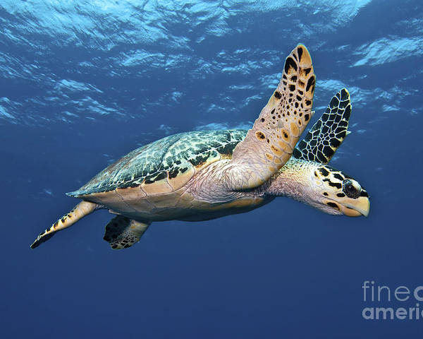 Caribbean Poster featuring the photograph Hawksbill Sea Turtle In Mid-water by Karen Doody