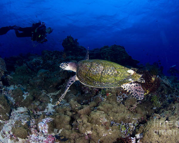 Cheloniidae Poster featuring the photograph Hawksbill Turtle Swimming With Diver by Steve Jones