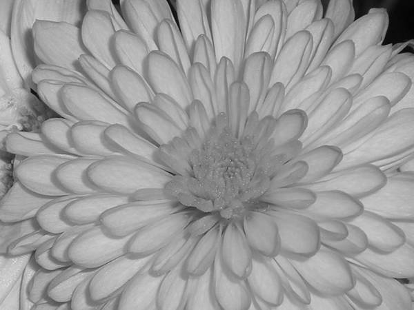 Flower Poster featuring the photograph He Loves Me He Loves Me Not by Stephanie Golden
