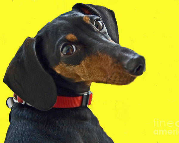 Dog Poster featuring the photograph Headshot Of Dacshund by Allan Einhorn