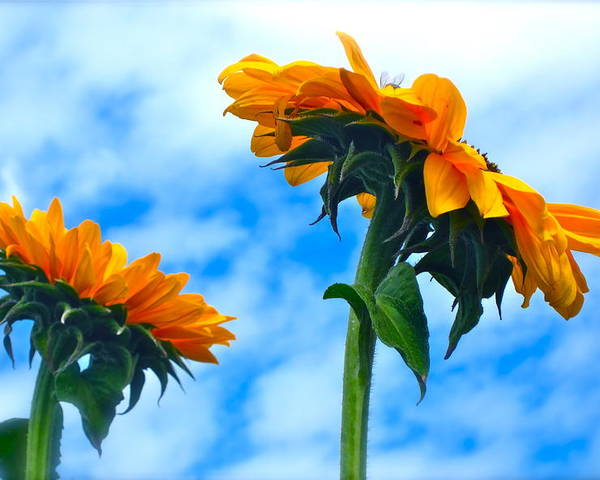 Photograph Of Sunflowers Poster featuring the photograph Heaven Above ... by Gwyn Newcombe