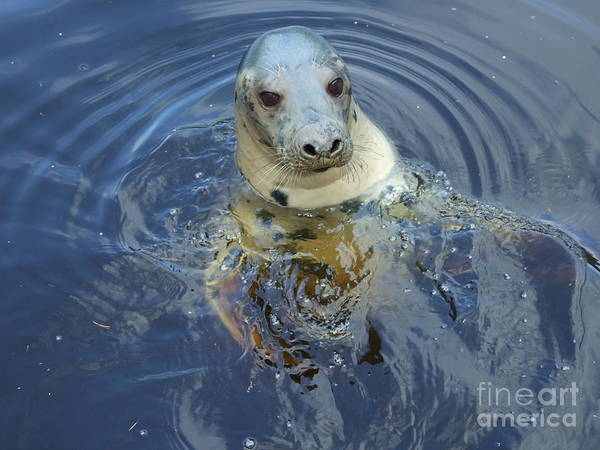 Grey Seal Poster featuring the photograph Hello by Lamont Finnigan