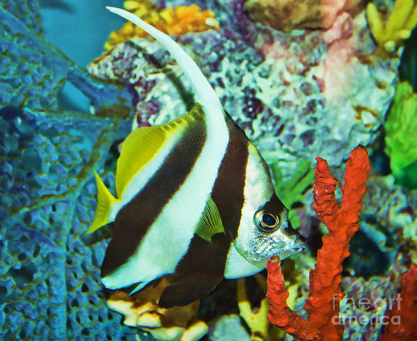 Fish Poster featuring the photograph Heniochus Butterfly by Steven Parker