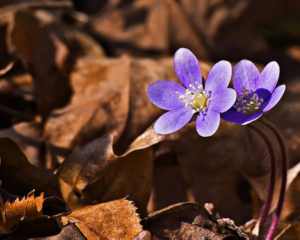 Landscape Poster featuring the photograph Hepatica Flower by Michael Whitaker
